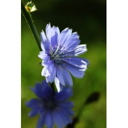Bach Bloesem CHICORY NR 8