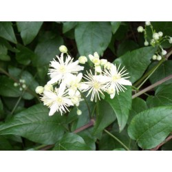 Bach Bloesem CLEMATIS NR 9