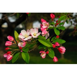 Bach Bloesem CRAB APPLE NR 10