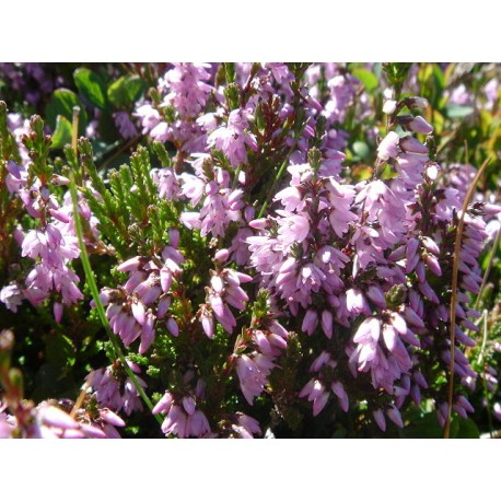 Bach Bloesem HEATHER NR 14